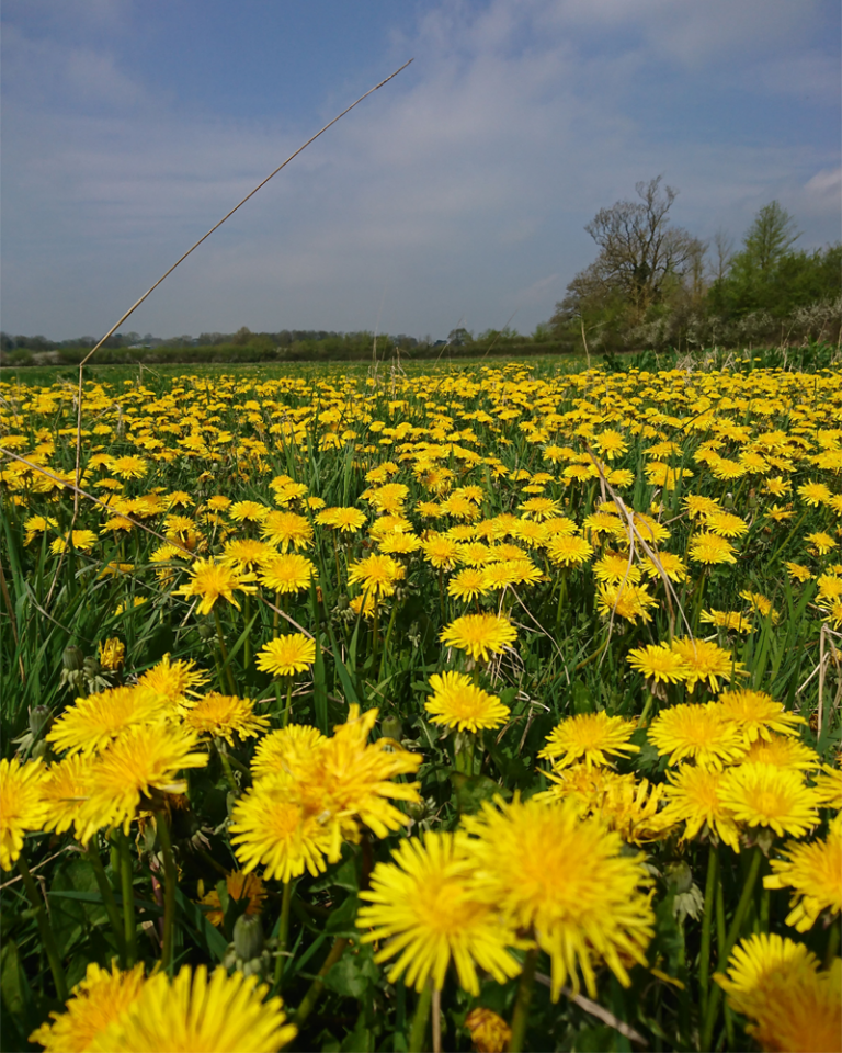 field of dandelions April 18 002