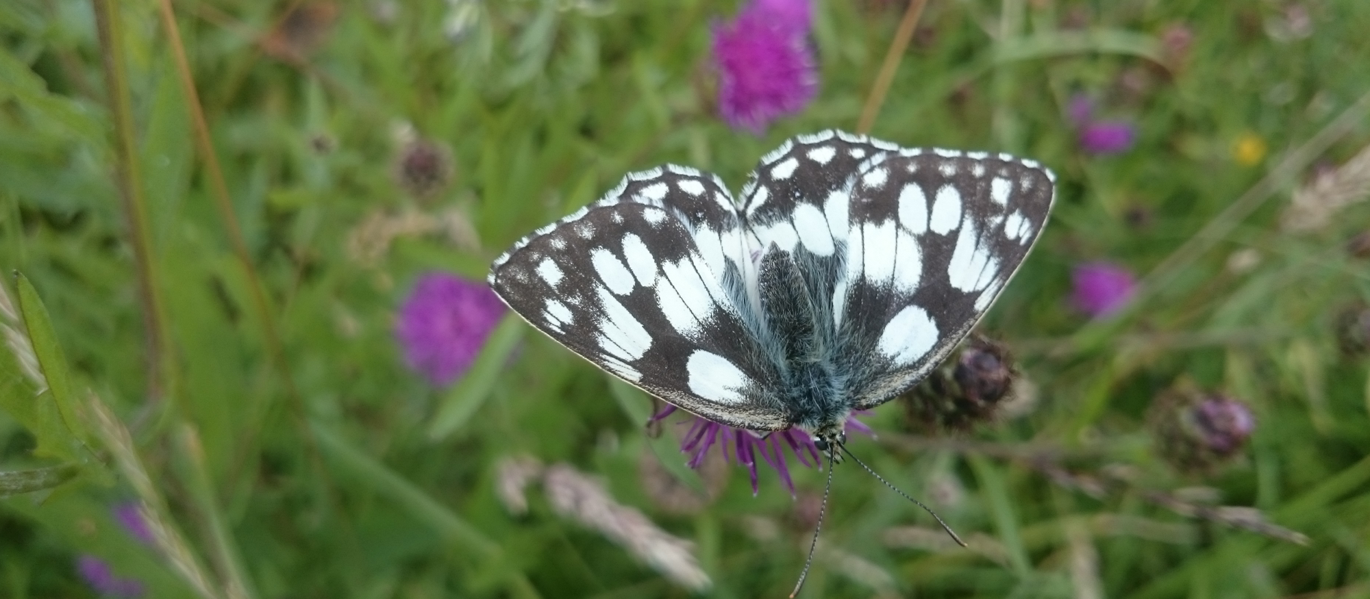 marbled white 001