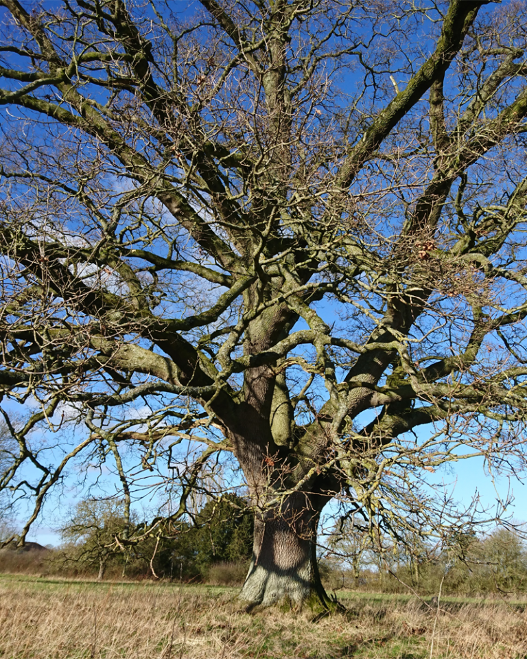 oak tree winter 002
