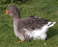 Toulouse goose