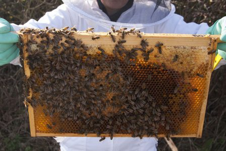 frame of bees