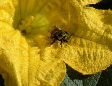 marrow flower with bumble bee pollinator crop web